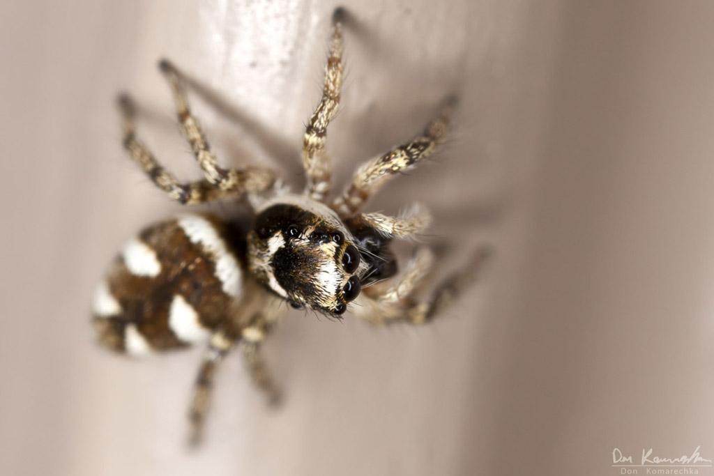 IMAGE: http://don.komarechka.com/images/potn/spiders/_MG_0700.jpg