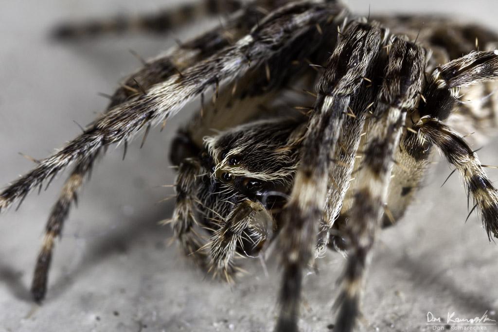 IMAGE: http://don.komarechka.com/images/potn/spiders/_MG_1302.jpg