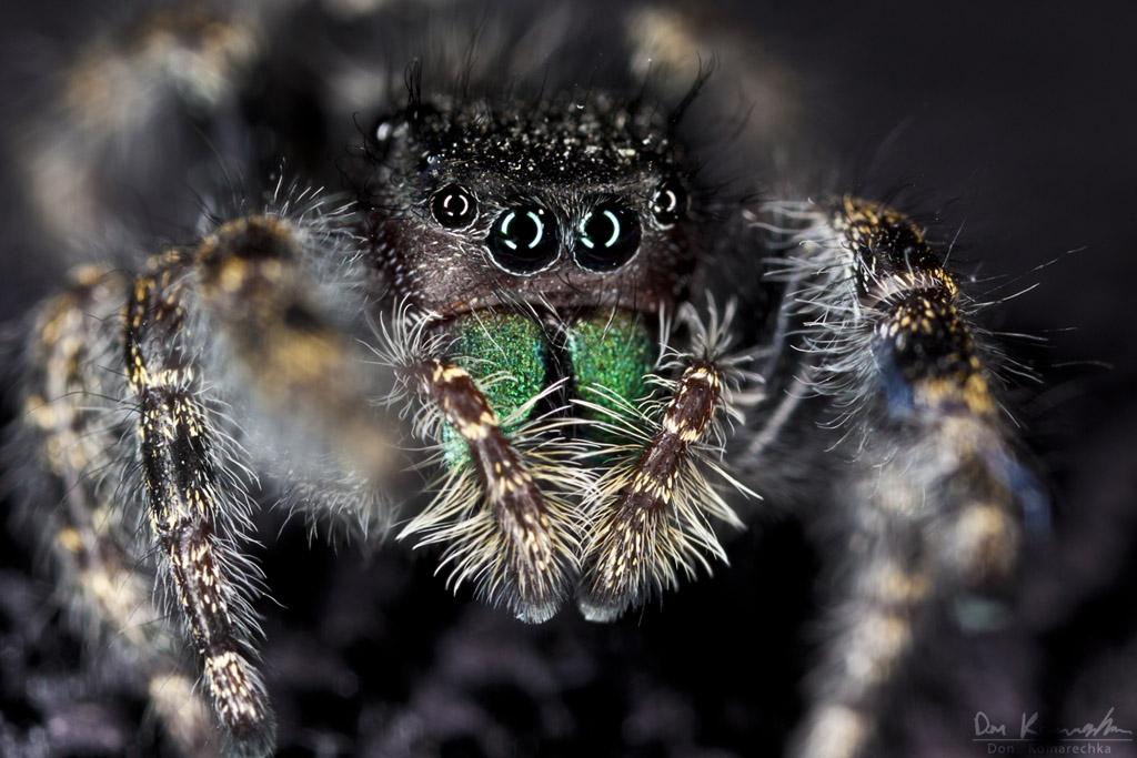 IMAGE: http://don.komarechka.com/images/potn/spiders/_MG_9185.jpg