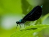 Black Jewelwing
