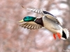 Mallard in Flight
