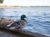Ducks in Toronto