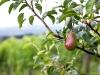 Pear tree in a vineyard