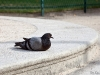 French pigeon