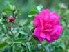 Berlin Pink Flowers