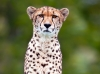 Cheetah in Waiting