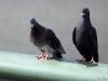 London Pigeons
