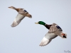 Mallard couple in flight