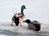 Duck Fight 3