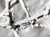 More Snowy Branches