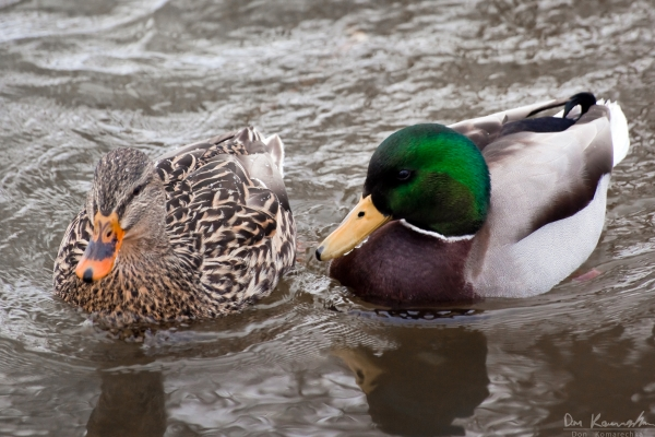 Male and female ducks