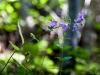 Purple flowers near Neuschwanstein