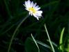 A Daisy at Neuschwanstein