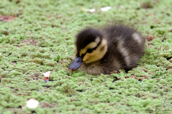 Little Duckling