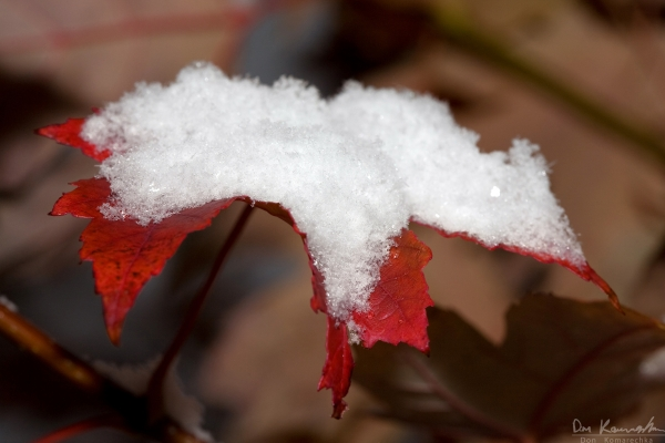 Snowy maple leaf
