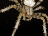 Adult European Garden Spider