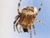 European Garden Spider eating