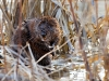 Muskrat in the reeds