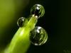 Dew Drops close-up