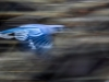 Blue Jay Blur