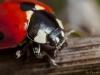 Resting Ladybird