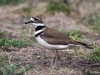Foraging Killdeer