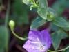 Purple wildflowers again