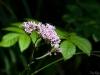 Small flowers near Neuschwanstein