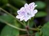 More hillside flowers of Füssen
