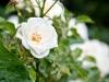 White Berlin Rose