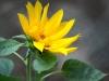 Struggling sunflower