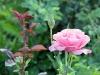 Romanian rose garden