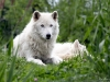 Arctic Wolves on Alert