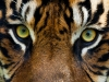Eyes of the Tiger - Closeup