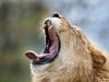 Roaring Yawn
