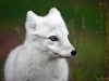 Energetic Arctic Fox