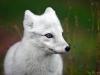Energetic Arctic Fox
