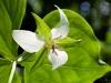 Drooping Trillium (Trillium flexipes)