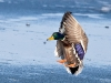 Hover duck!